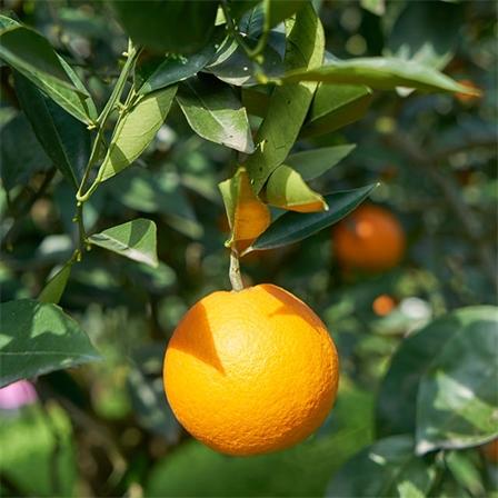 湖北秭归伦晚脐橙 10斤带箱全国包邮 新鲜橙子现摘现发
